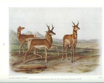 1951 Audubon Animal Print - Prong Horned Antelope - Vintage Antique Book Plate Art Illustration Natural Science Great for Framing
