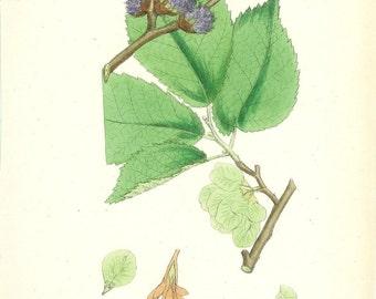 1873 British Botany Print - Broad-Leaved Elm - Vintage Antique Art Illustration Book Plate Natural Science Great for Framing 100 Years Old