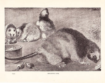 1901 Animal Print - Philippine Rats - Vintage Antique Book Plate for Natural Science or History Lover Great for Framing 100 Years Old