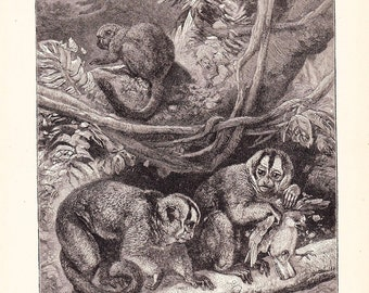 1901 Animal Print - Douroucoulis Monkeys - Vintage Antique Book Plate for Natural Science or History Lover Great for Framing 100 Years Old