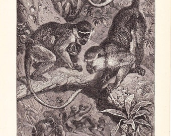 1901 Animal Print - West African Green Monkeys - Vintage Antique Book Plate Natural Science or History Lover Great for Framing 100 Years Old