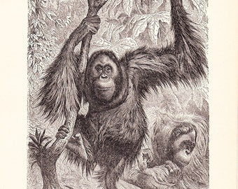 1904 Animal Print - Orangutan - Vintage Antique Book Plate for Natural Science or History Lover Great for Framing 100 Years Old