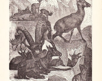1901 Animal Print - Alpine Ibex - Vintage Antique Book Plate for Natural Science or History Lover Great for Framing 100 Years Old