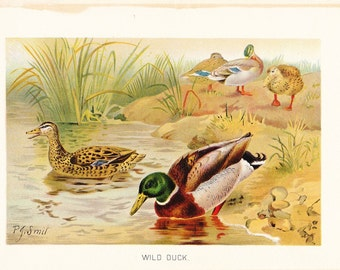 1901 Bird Print - Wild Duck - Vintage Antique Book Plate for Natural Science or History Lover Great for Framing 100 Years Old