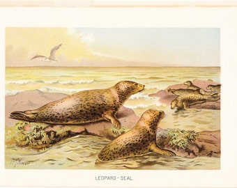 1901 Animal Print - Leopard Seal - Vintage Antique Book Plate for Natural Science or History Lover Great for Framing 100 Years Old