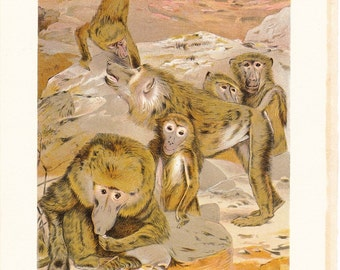 1901 Animal Print - Baboons - Vintage Antique Book Plate for Natural Science or History Lover Great for Framing 100 Years Old