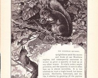 1880 Animal Print - European Squirrel - Vintage Antique Home Decor Art Illustration for Framing 100 Years Old