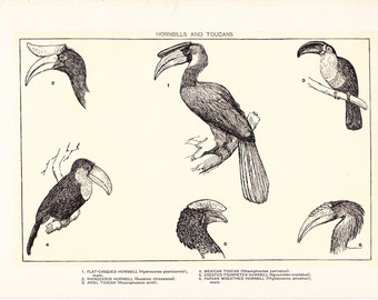 1903 Bird Print - Hornbills and Toucans - Vintage Antique Home Decor Book Plate Art Illustration for Framing 100 Years Old