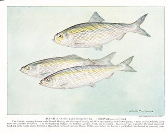 1939 Fish Print - Alewife Herring - Vintage Antique Nature Science Animal Art Illustration Cabin Cottage Home Decor for Framing