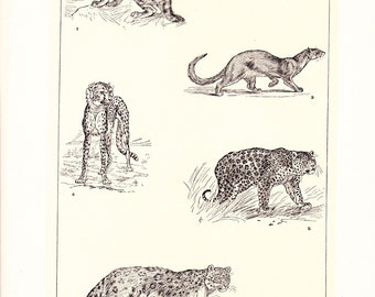 1903 Animal Print - Wild Cats - Vintage Antique Home Decor Book Plate Art Illustration for Framing 100 Years Old
