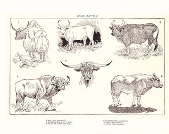 1903 Animal Print - Wild Cattle - Vintage Antique Home Decor Book Plate Art Illustration for Framing 100 Years Old
