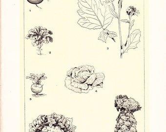 1909 Botany Print - Cabbage Garden Greens - Vintage Antique Art Illustration Book Plate Natural Science Great for Framing 100 Years Old