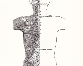 1926 Human Anatomy Print - Cutaneous Nerves of Back - Vintage Antique Medical Anatomy Art Illustration for Doctor Hospital Office