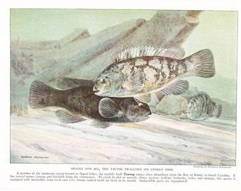 1939 Fish Print - Tautog - Vintage Antique Nature Science Animal Art Illustration Cabin Cottage Home Decor for Framing
