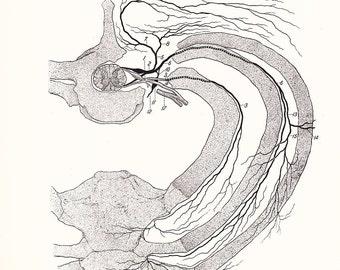 1926 Human Anatomy Print - Diagram of Upper Intercostal Nerve - Vintage Antique Medical Anatomy Art Illustration for Doctor Hospital Office