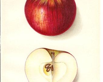 1912 Fruit Print - Summer King Apple - Vintage Home Kitchen Food Decor Plant Art Illustration Great for Framing 100 Years Old