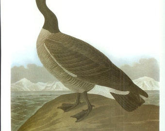 John James Audubon Bird Print - Hutchins Goose - Vintage Natural Science Home Decor Art Illustration Great for Framing