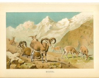 1890s Animal Print - Bharal - Vintage Antique Book Plate for Natural Science or History Lover Great for Framing 100 Years Old
