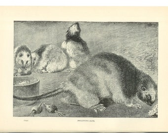 1904 Animal Print - Philippine Rats - Vintage Antique Home Decor Art Illustration for Framing 100 Years Old