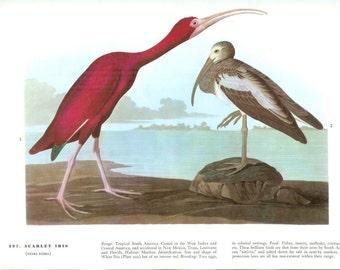 John James Audubon Bird Print - Scarlet Ibis - Vintage Natural Science Home Decor Art Illustration Great for Framing