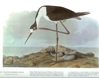 John James Audubon Bird Print - Black Necked Stilt - Vintage Natural Science Home Decor Art Illustration Great for Framing