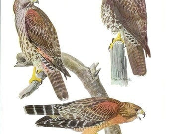 1936 Bird Print - Plates 47 & 48 - Hawks - Vintage Antique Art Illustration by Louis Agassiz Fuertes 75 Years Old