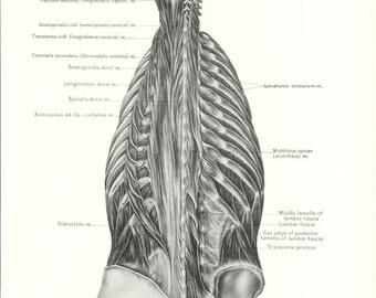 1926 Human Anatomy Print - Deep Muscles of Back - Vintage Antique Medical Anatomy Art Illustration for Doctor Hospital Office
