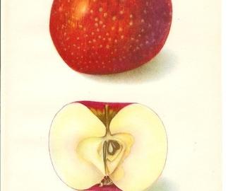1906 Fruit Print - Oliver Red Apple - Vintage Home Kitchen Food Decor Plant Art Illustration Great for Framing 100 Years Old