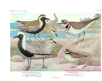 1936 Bird Print - Plates 39 & 40 - Plovers - Vintage Antique Art Illustration by Louis Agassiz Fuertes 75 Years Old