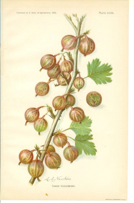1909 Fruit Print - Carrie Gooseberry - Vintage Home Kitchen Food Decor Plant Art Illustration Great for Framing 100 Years Old