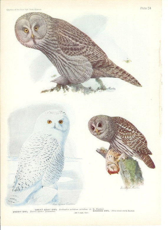 1936 Bird Print - Plates 53 & 54 - Owls - Vintage Antique Art Illustration by Louis Agassiz Fuertes 75 Years Old