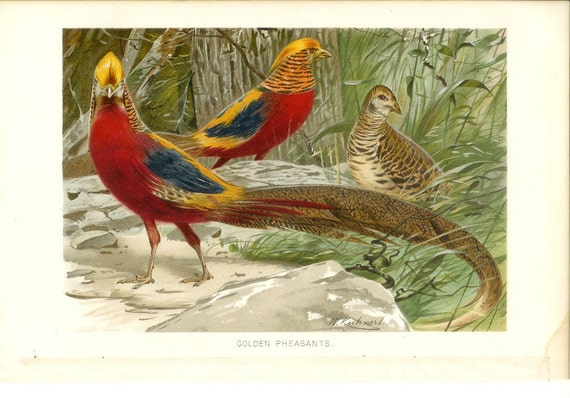 1890s Bird Print - Golden Pheasants - Vintage Antique Book Plate for Natural Science or History Lover Great for Framing 100 Years Old