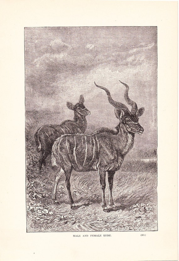1904 Animal Print - Male and Femals Kudu - Vintage Antique Book Plate for Natural Science or History Lover Great for Framing 100 Years Old