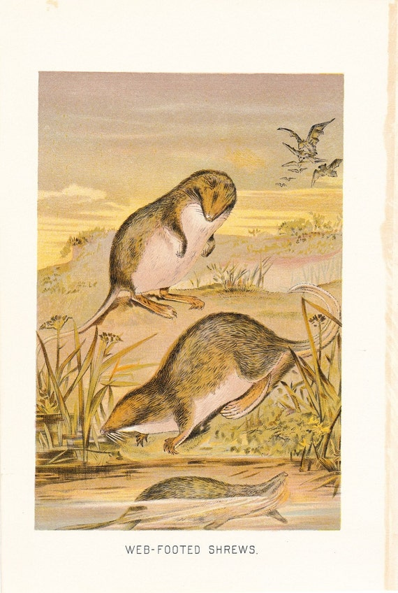 1901 Animal Print - Web Footed Shrew - Vintage Antique Book Plate for Natural Science or History Lover Great for Framing 100 Years Old