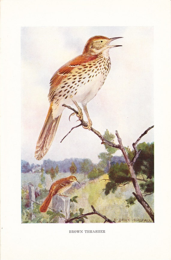 CLEARANCE SALE was 10 Bucks - 1916 Bird Print - Brown Thrasher - Vintage Antique Book Plate Great for Framing Nearly 100 Years Old