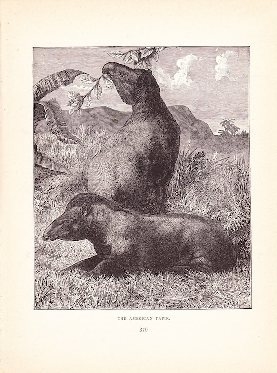 1880 Animal Print American Tapir Vintage Antique By Holcroft