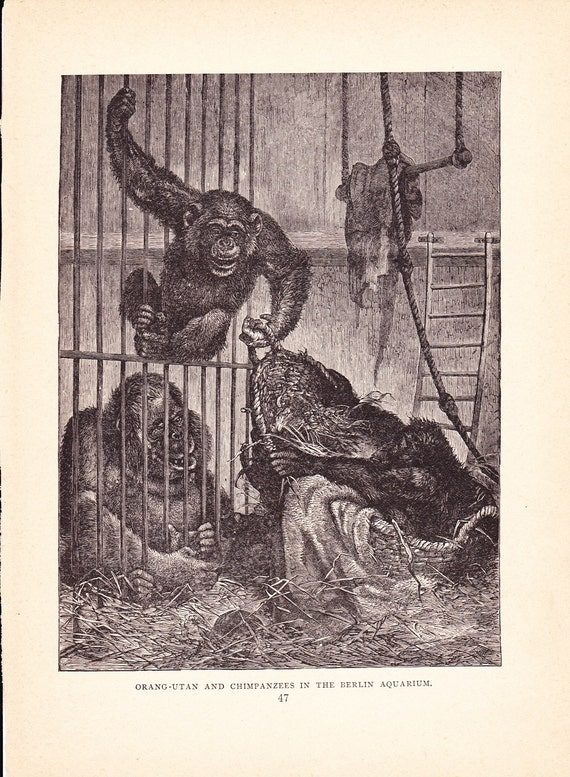 1880 Animal Print Orangutan And Chimpanzee Vintage Antique