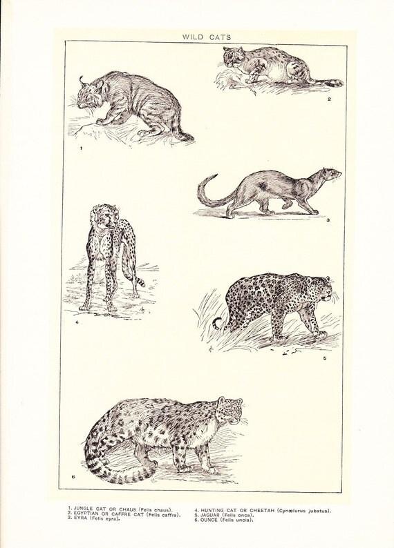1903 Animal Print Wild Cats Vintage Antique Home Decor
