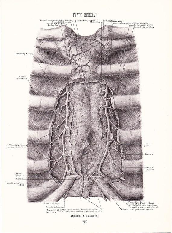 anterior mediastinum anatomy - photo #34