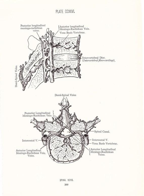 1926 Human Anatomy Print - Spinal Veins - Vintage Antique Medical Anatomy Art Illustration for Doctor Hospital Office