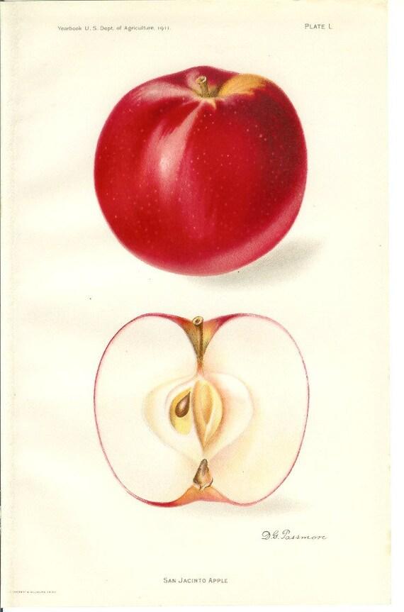1911 Fruit Print - San Jacinto Apple - Vintage Home Kitchen Food Decor Plant Art Illustration Great for Framing 100 Years Old