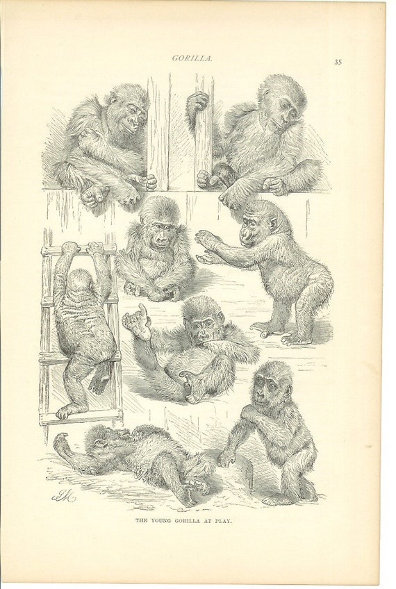 1890s Animal Print - Young Gorillas - Vintage Antique Home Decor Art Illustration for Framing 100 Years Old