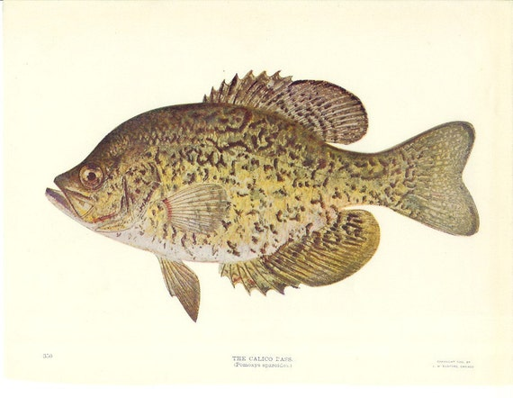 1900s Fish Print - Calico Bass - Vintage Antique Home Decor Book Plate Art Illustration for Framing 100 Years Old