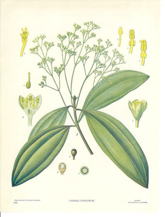 1900s Botany Print - Cassia - Vintage Home Kitchen Spice Decor Plant Art Illustration Great for Framing 100 Years Old