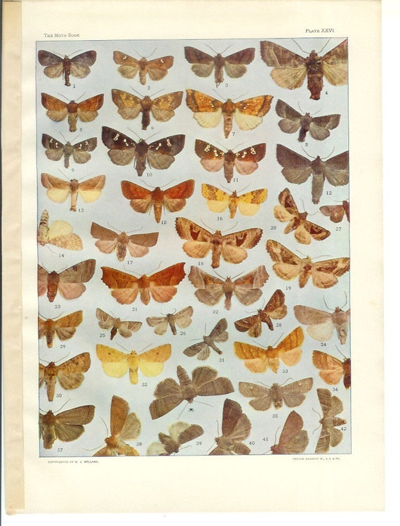 1903 Insect Print - Moths - Vintage Antique Book Plate for Natural Science or History Lover Great for Framing 100 Years Old