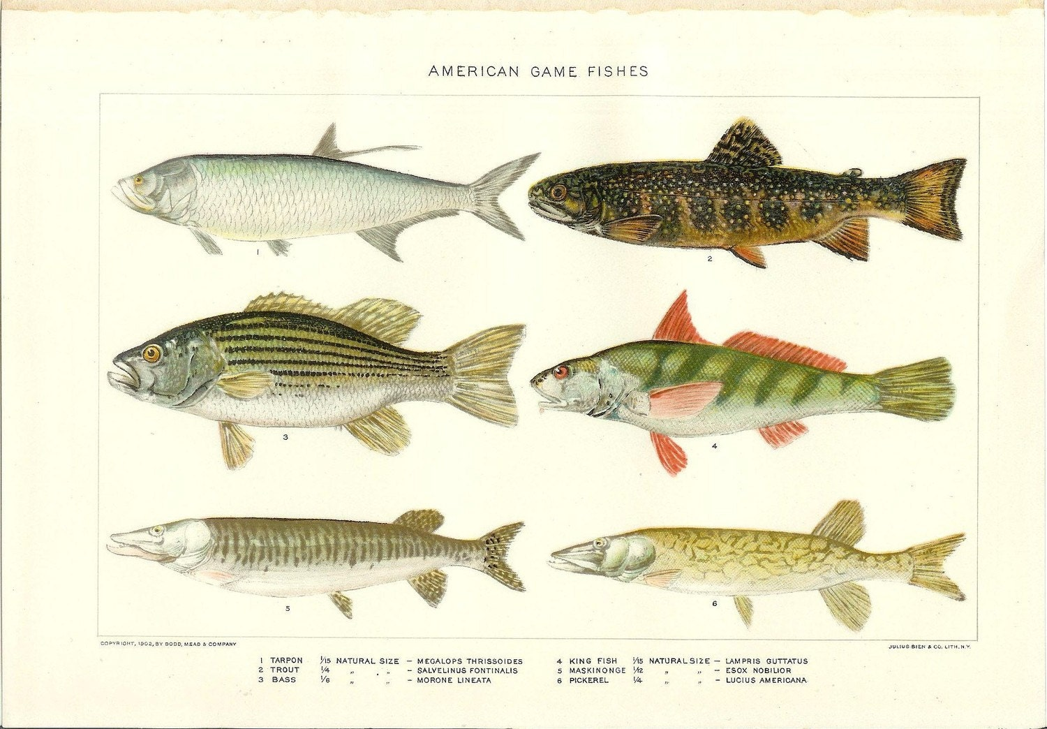 1903 animal print american game fish vintage antique home for Illinois game and fish