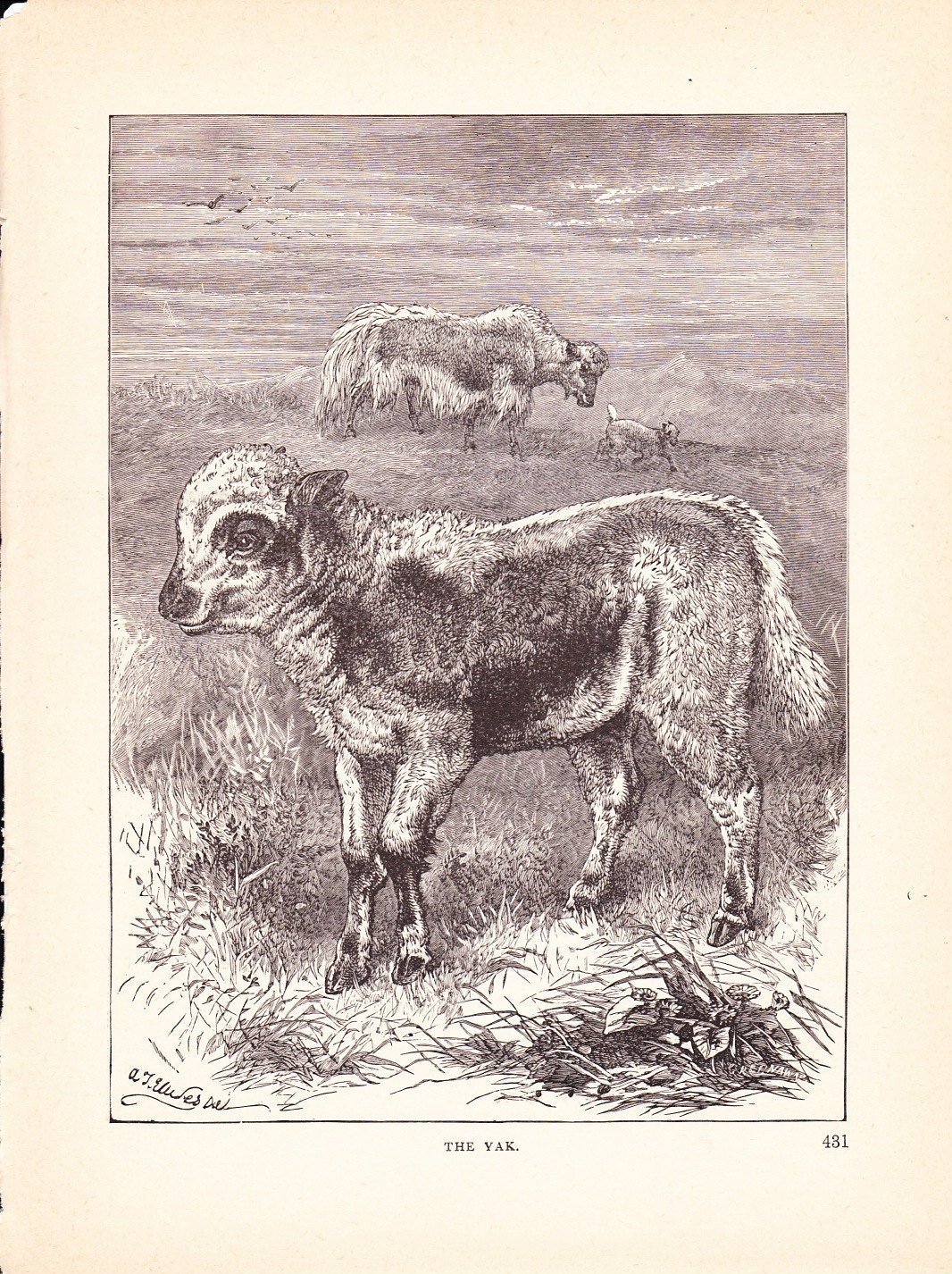 1880 Animal Print Yak Vintage Antique Home Decor Art