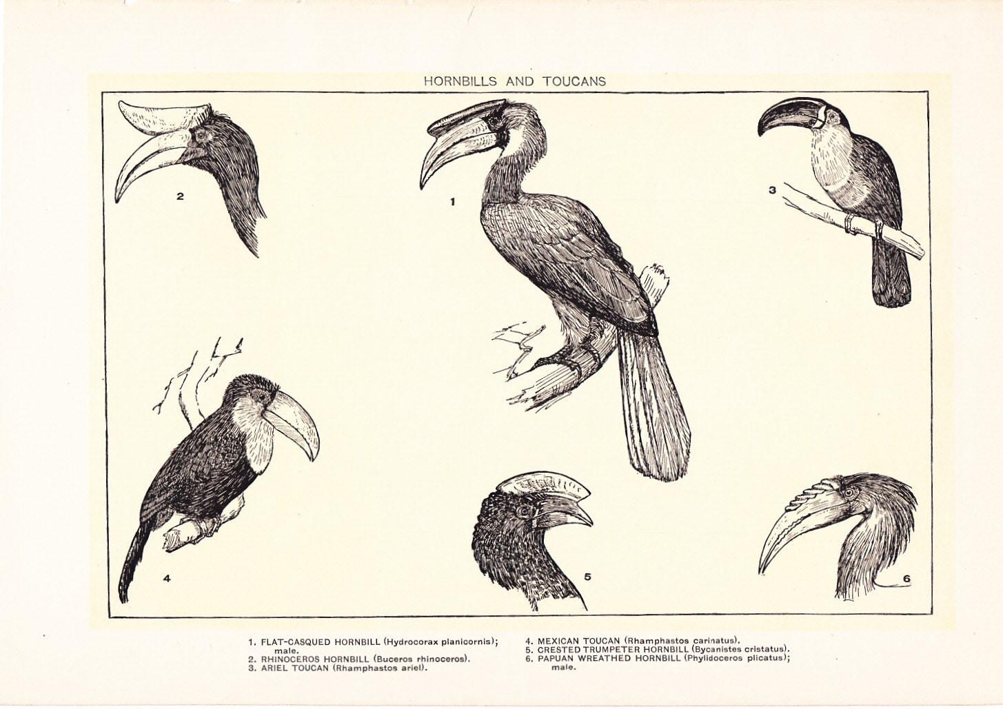 1903 bird print hornbills and toucans vintage antique home