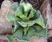 Succulent Plant Key Lime Pie