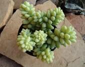 Succulent Plant, Sedum Donkey Tail Burrito, Beautiful in Hanging Baskets & Terrariums